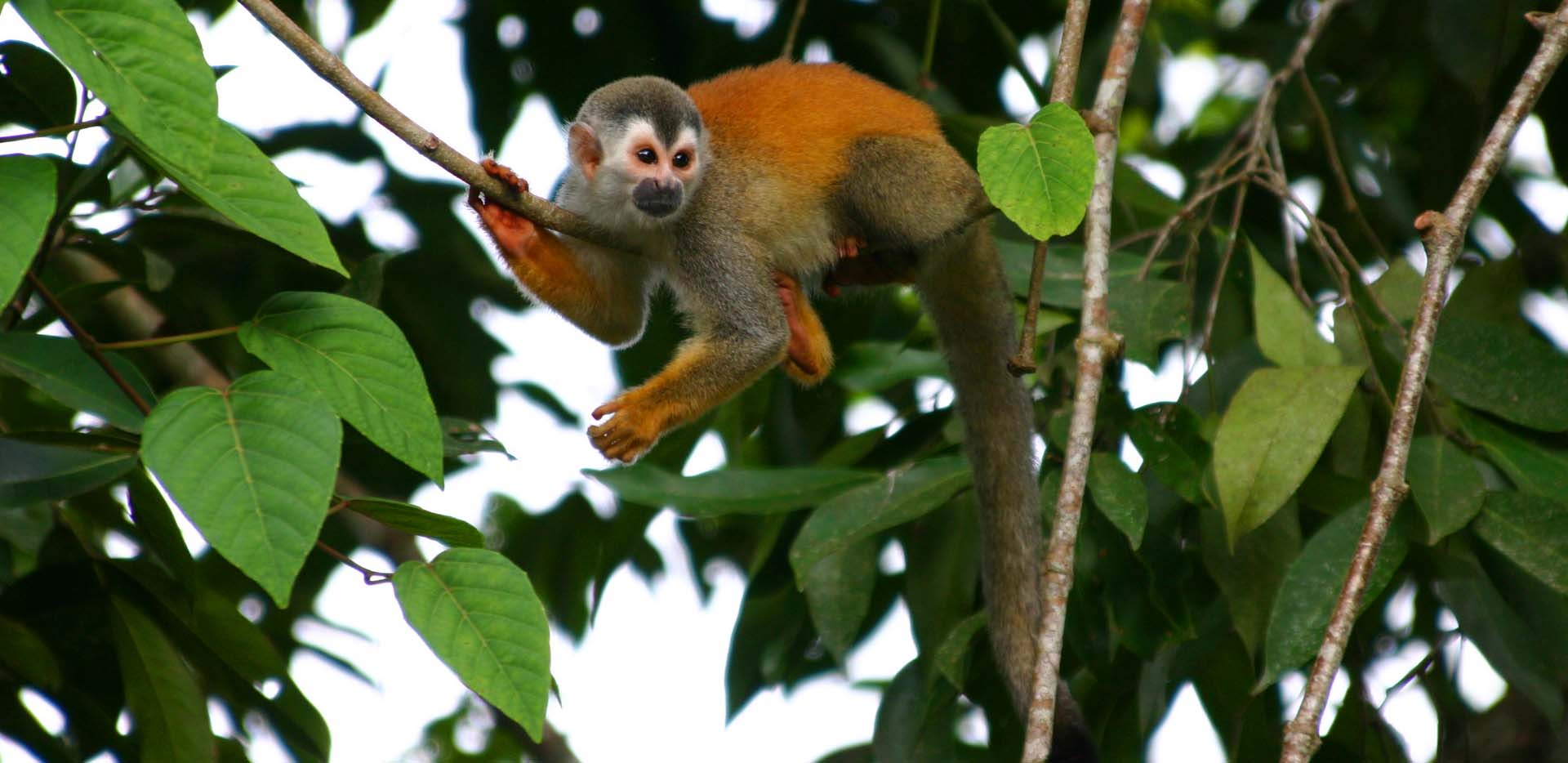 Squirrel Monkey on Tree Branch