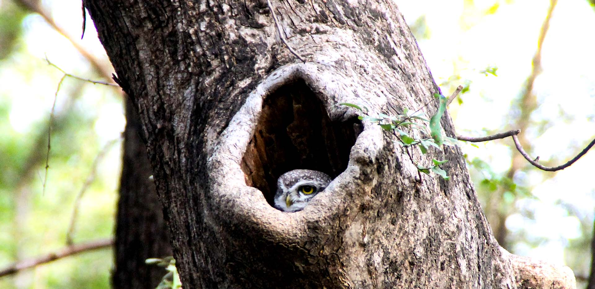 Spotted Owl in Hollow Tree