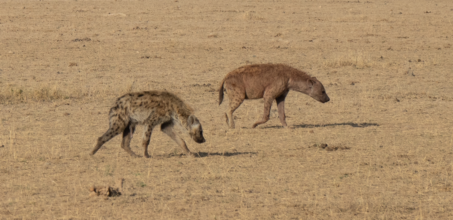 Roaming Hyenas