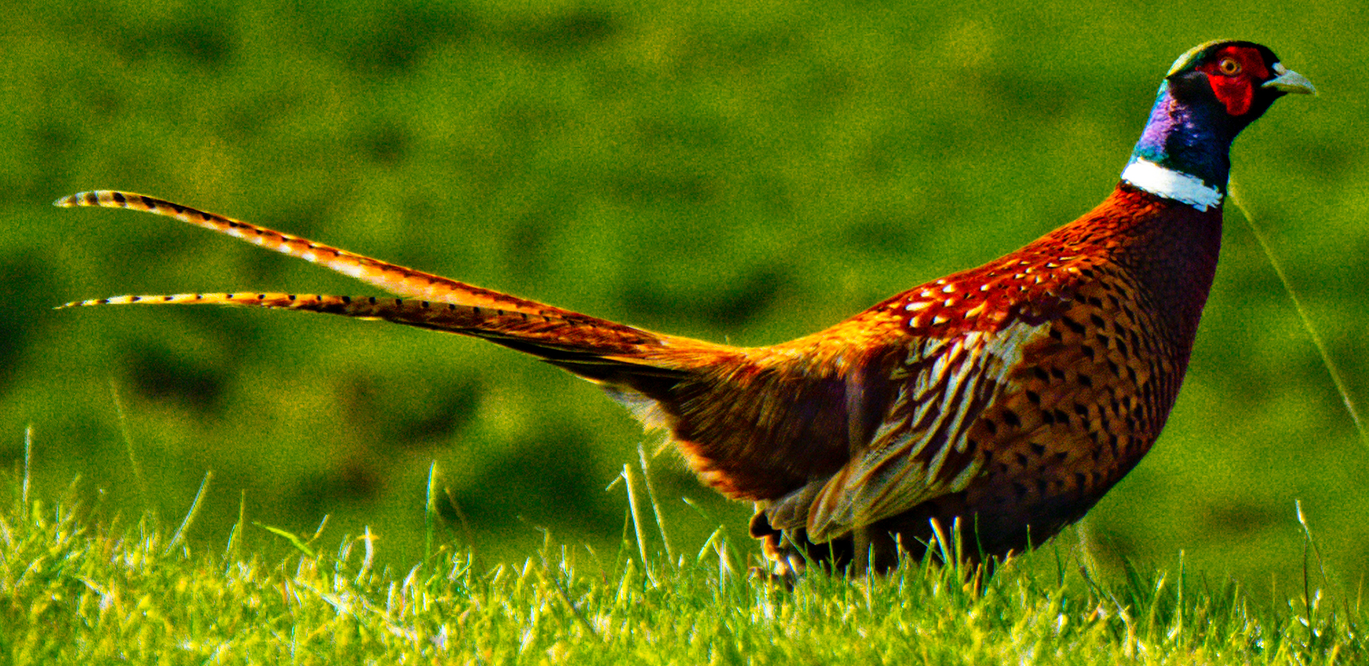 Pheasant in the English Countryside