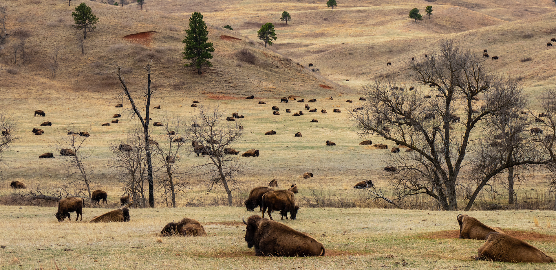 Custer State Park - Prairie Full Of Bison