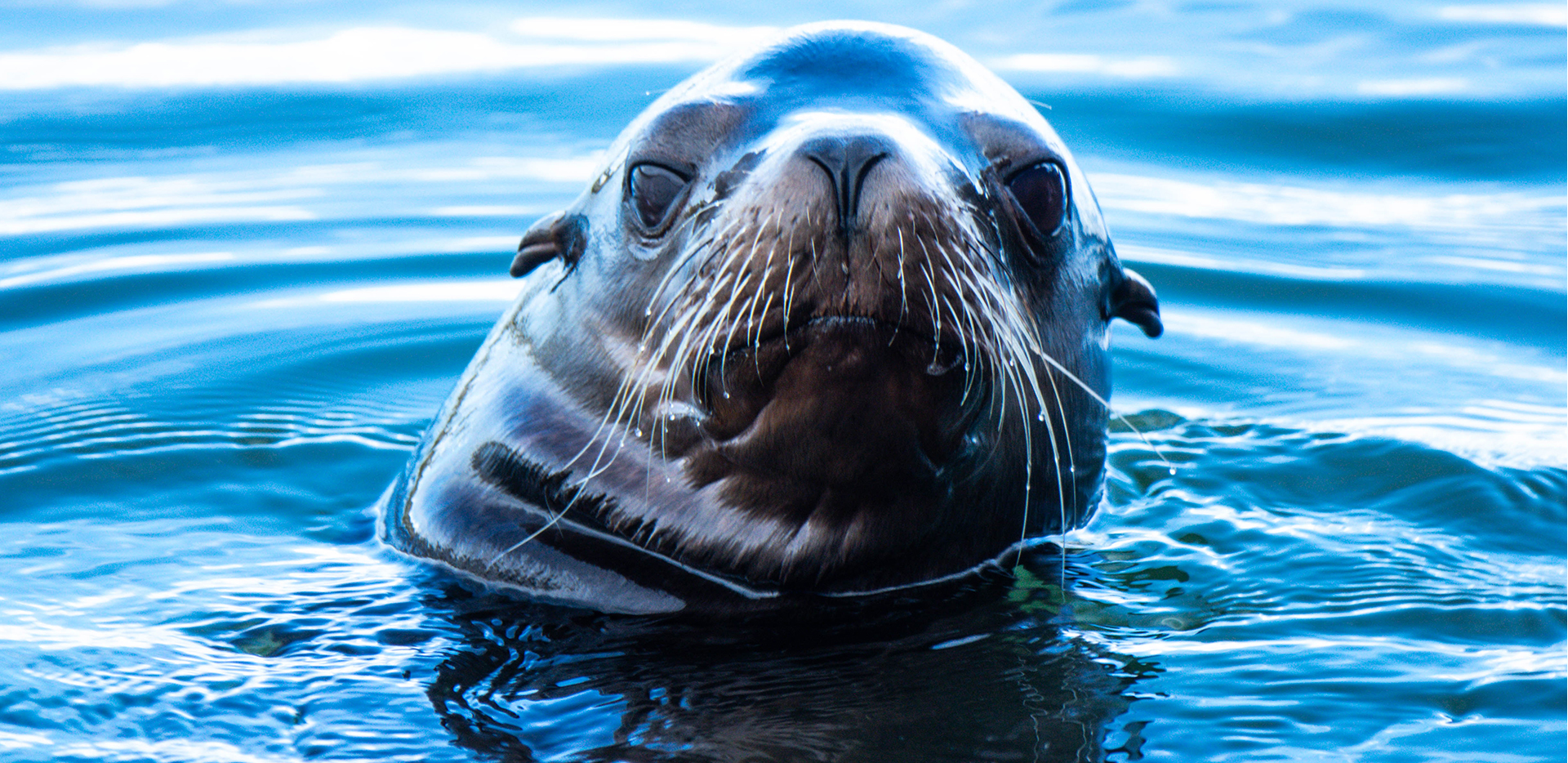 Sea Lion Head in the Pacific Ocean