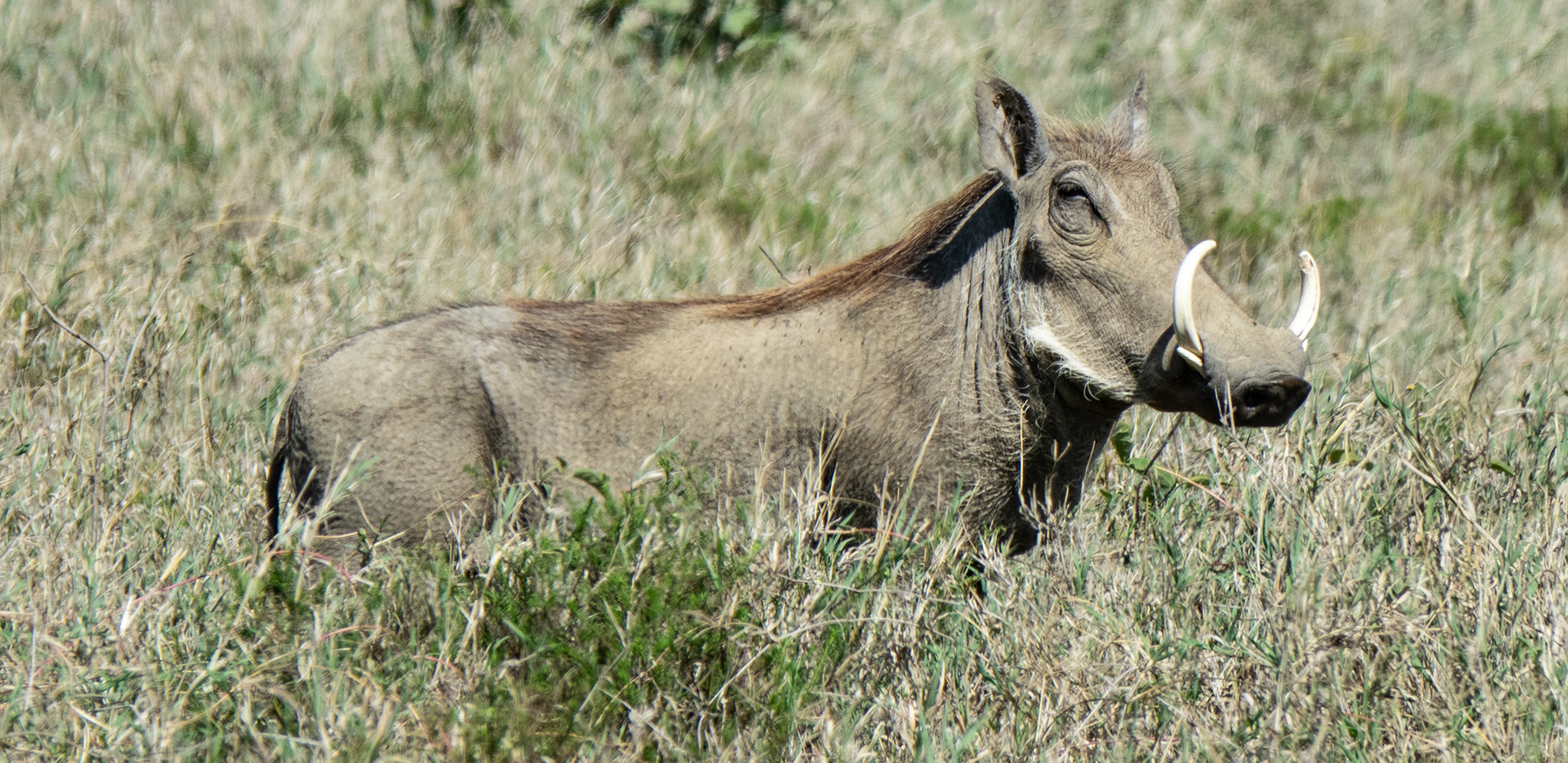Warthog With Big Tusks