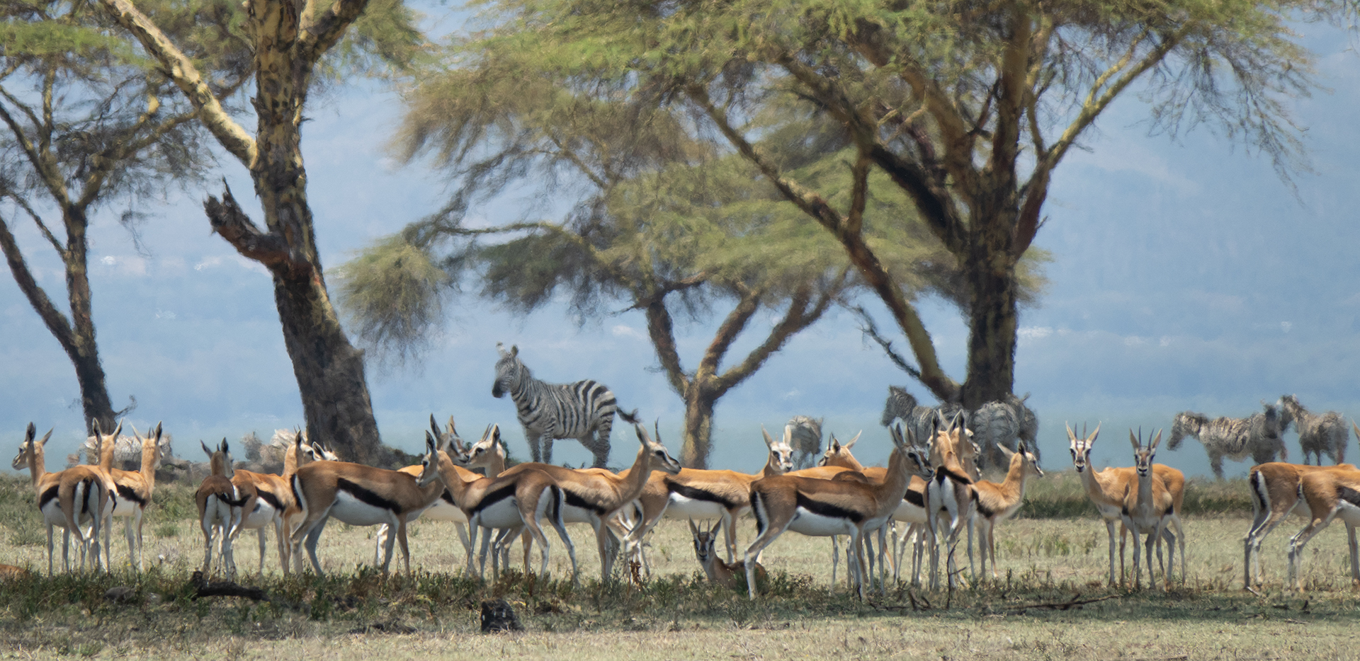 More Gazelles And Zebras