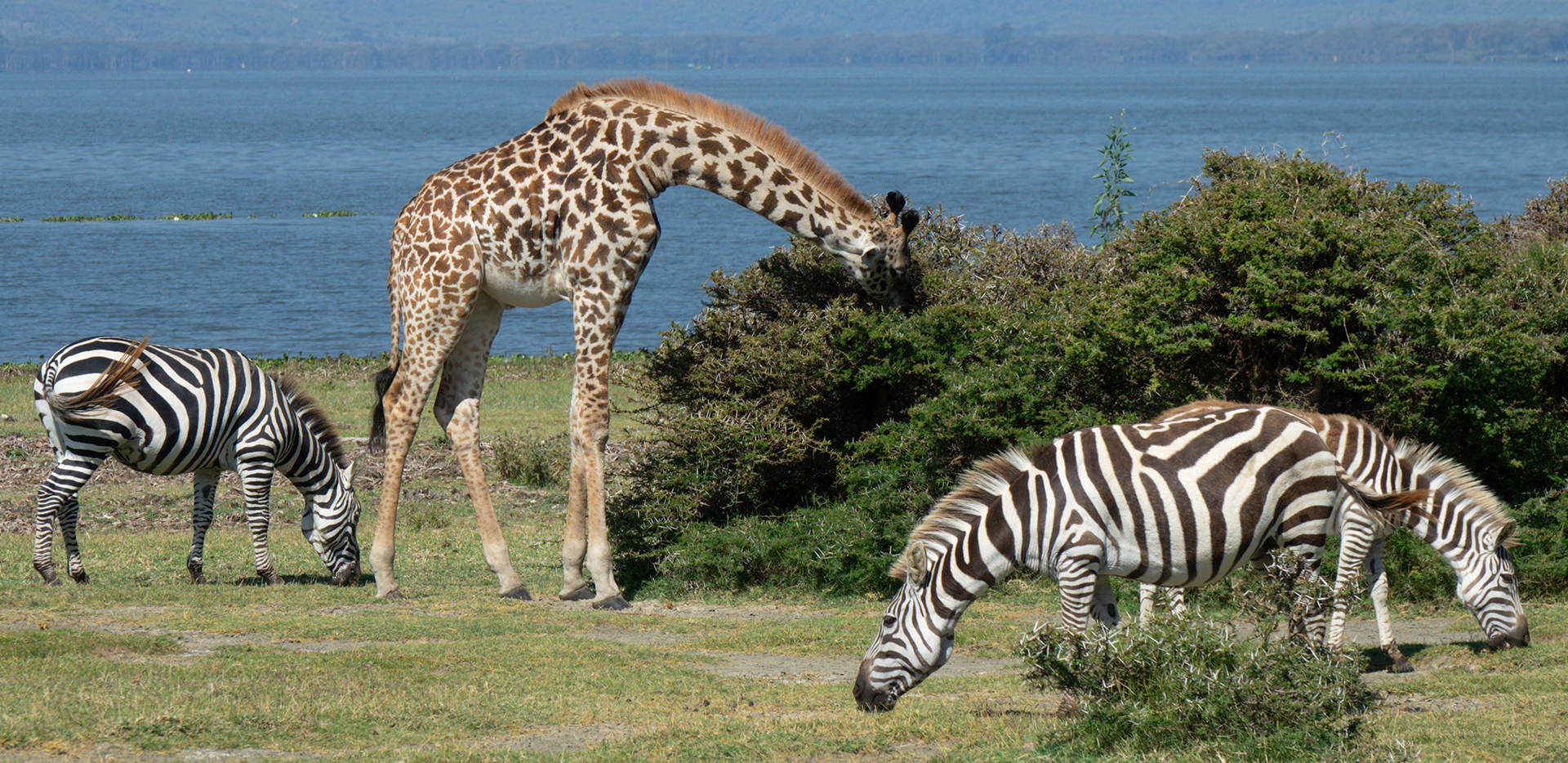 Maasai Giraffe And Zebras