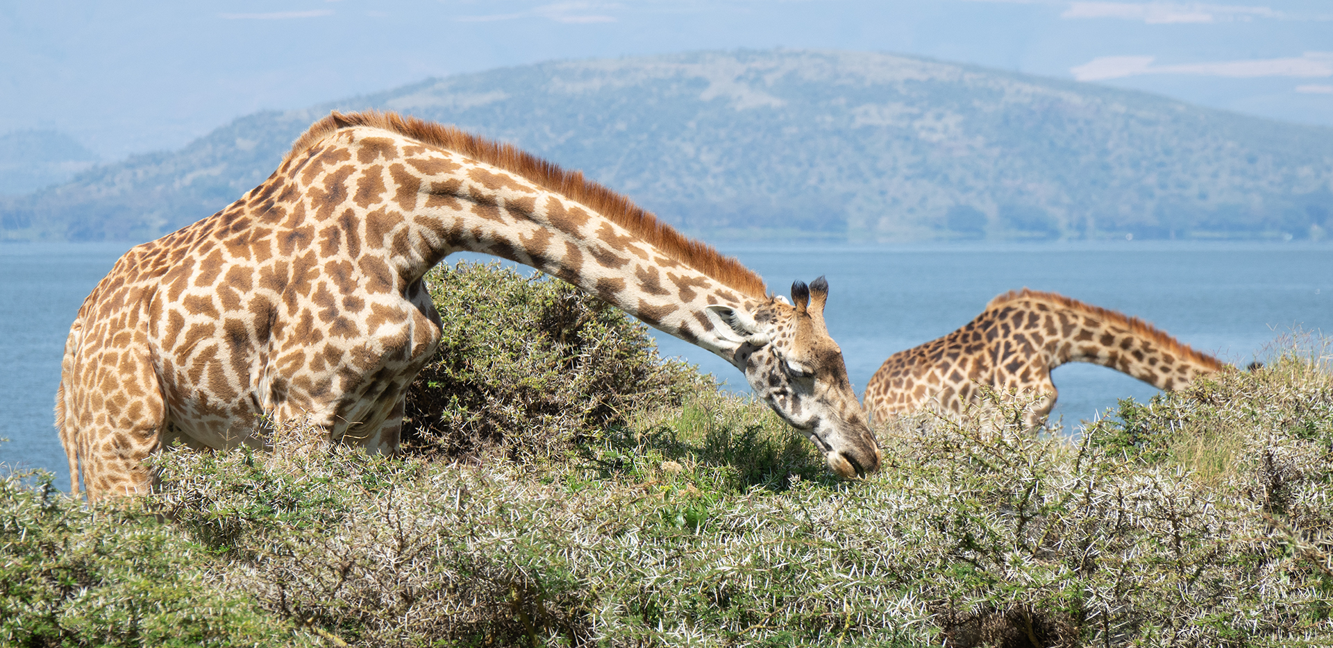 Maasai Giraffes Eating with Lake In The Background