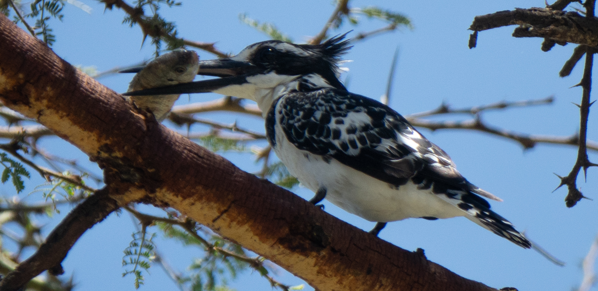 Pied Kingfisher Eating Fish