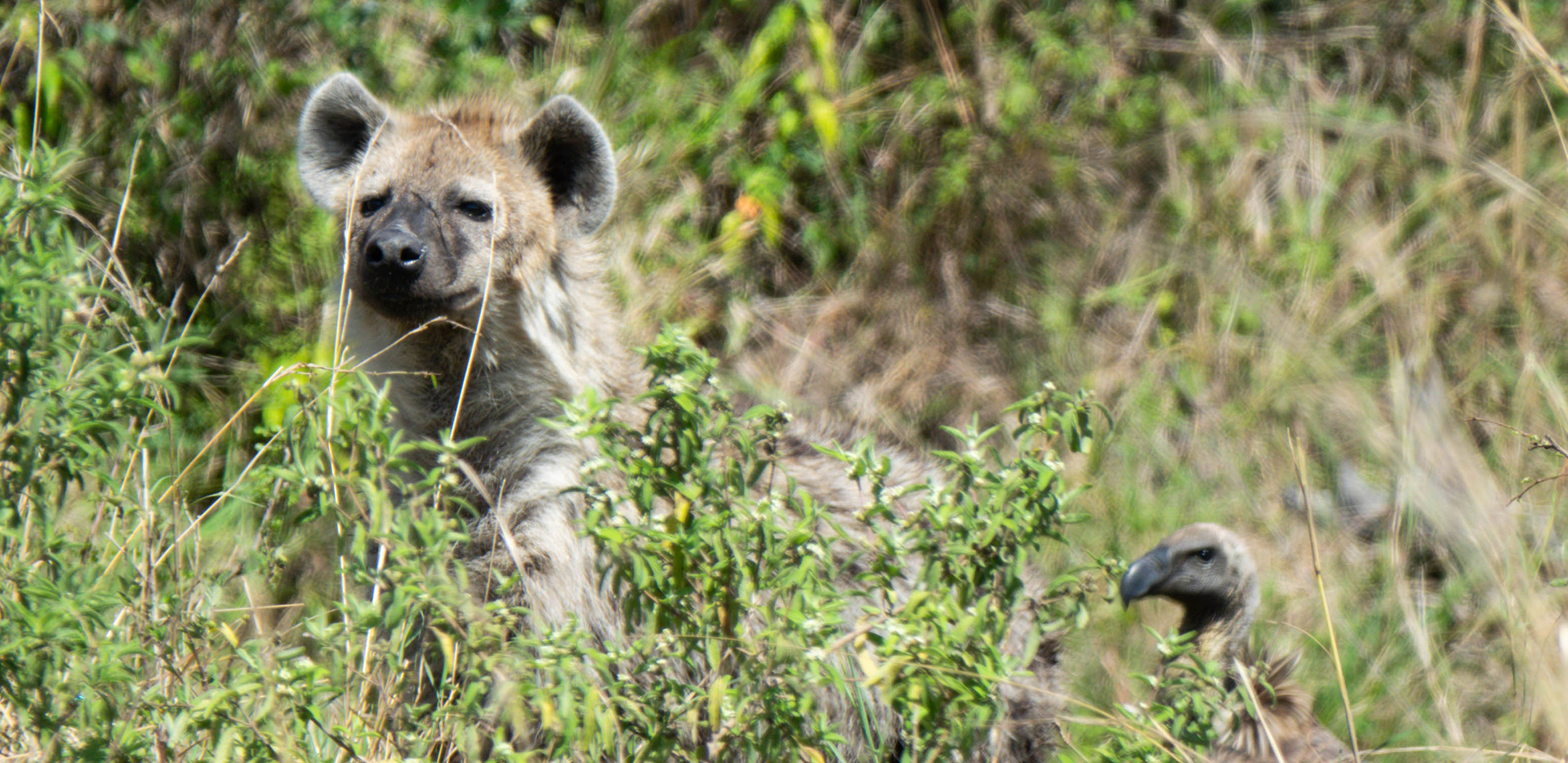 Hyena And Vulture