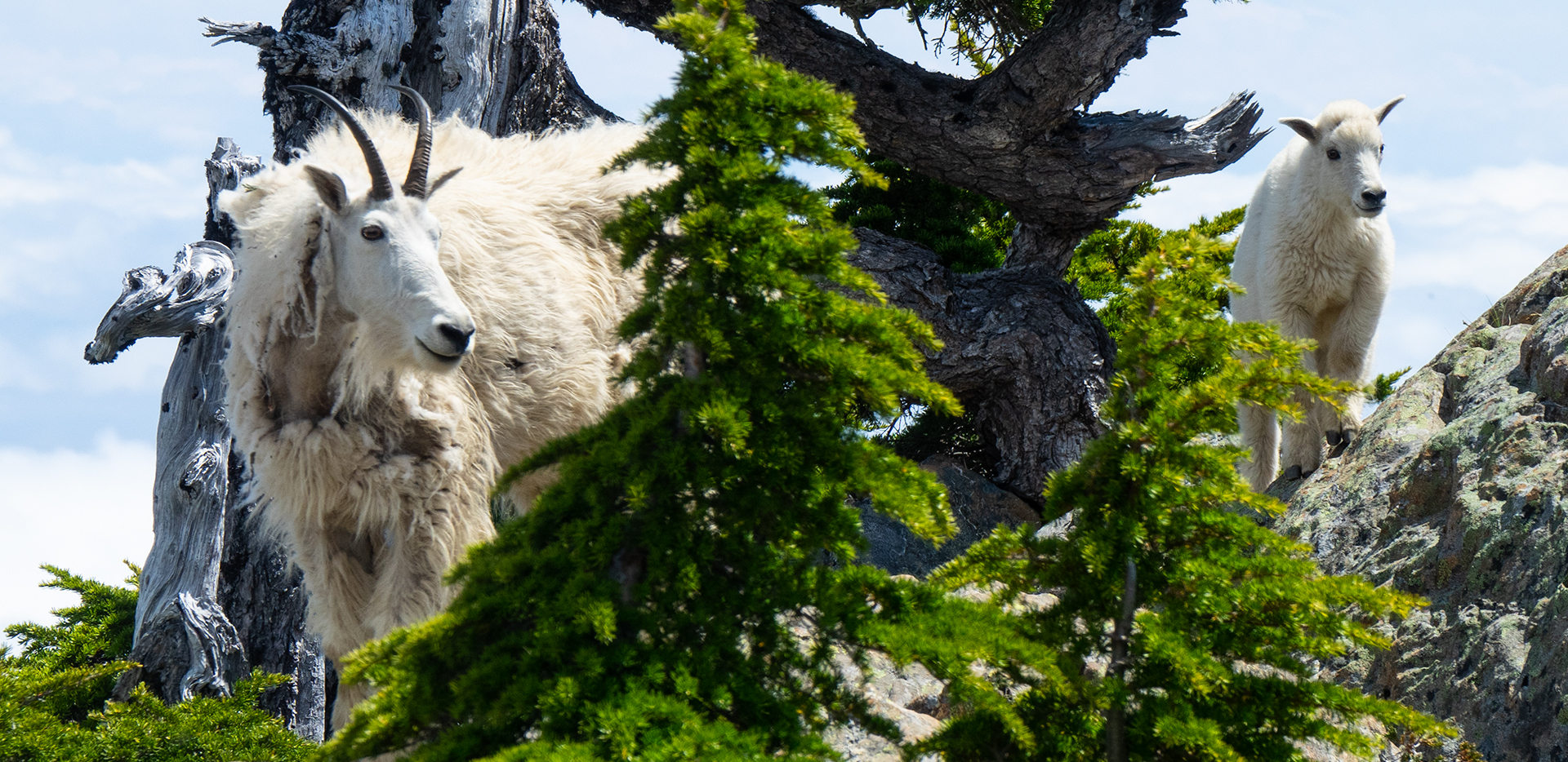 Mount Ellinor - Mother And Baby Mountain Goats In Trees