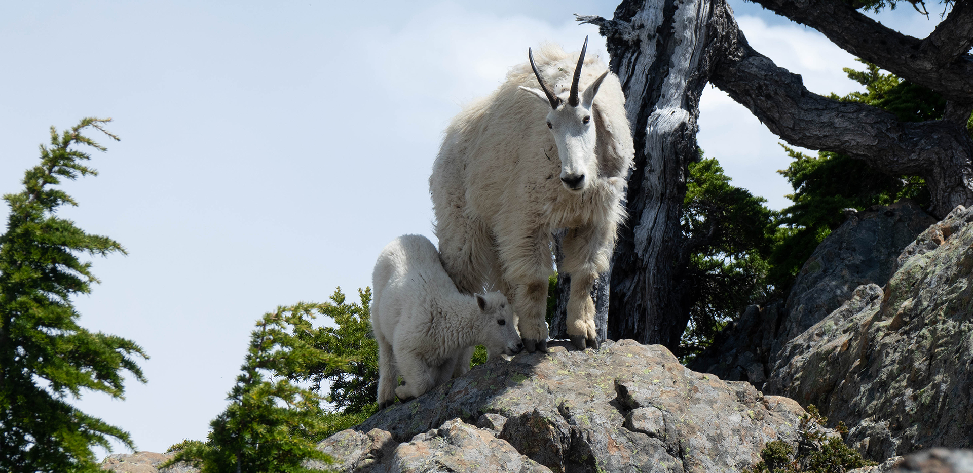 Mount Ellinor - Mother And Kid Mountain Goats On Rocks